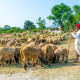 PUSHKAR, INDIA - OCTOBER 22: A Rajasthani tribal man wearing traditional colorful turban and brings his flock of sheeps to the annual Pushkar Cattle Fair on October 22, 2012 in Pushkar, Rajasthan, India.