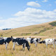 Young dairy cattle in a paddock in Canterbury, New Zealand. The cows are Holstein, also known as Friesian, the most productive dairy cattle in the world. The brown grass and hillside is typical of Canterbury in late summer.