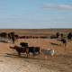 Outback cattle herd, South Australia