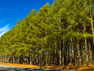 A stand of trees on a country roadside near Winston-Salem, North Carolina.