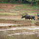 Two water buffalo cleaning a rice paddy with a plough-like board. A traditional rural scene in Sri Lanka