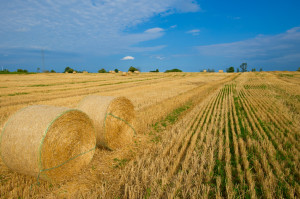 Stubble Field full of Hay Bales - Stock Image